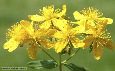 St John's Wort (Hypericum perforatum), blossom, medicinal plant