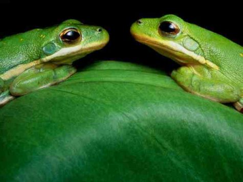 green-frogs-eastcott_1423_600x450