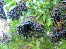 elderberries-2
