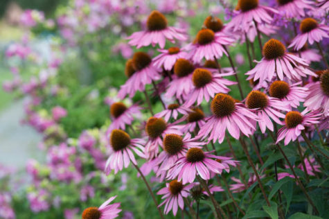 Echinacea purpurea 'Rubinglow' - Coneflowers - July - Oxfordshire