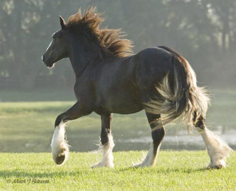 gypsy-horse-2