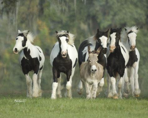 gypsy-horse-3