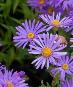 asteraceae_-_aster_amellus