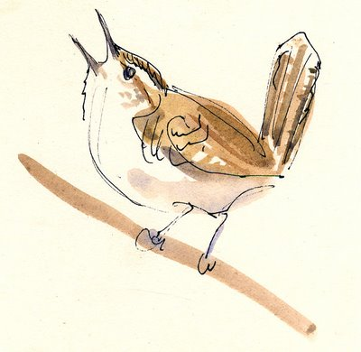 bewicks-wren-sketch