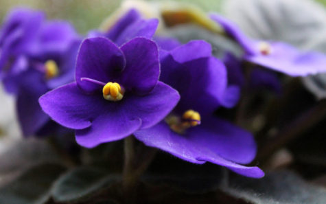 espoma-african-violet