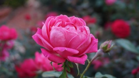 a-rose-1039817__340