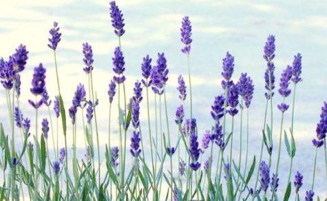 fresh lavender flowers pic