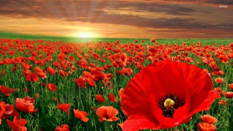 poppies-flowers-wallpaper1