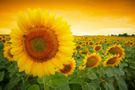 Sunflower field with dramatic sunset