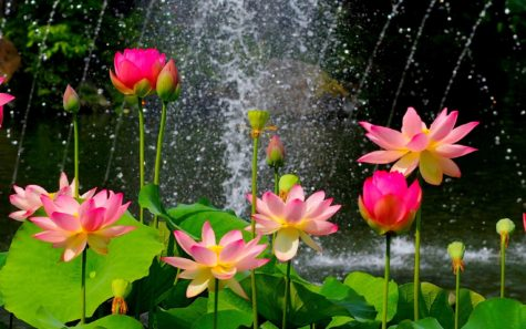 water-lillies-lotus-flowers-wallpaper