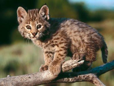 baby-bobcat-1-tnvhfdfzr2-1600x1200