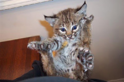 baby-bobcat
