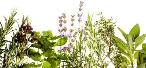 Mediterranean herbs on pure white background: lavender, sage, oregano, thyme. Spring and summer concept. Plenty of copyspace.