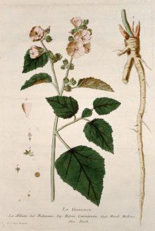regnault-marshmallow-plant-1774