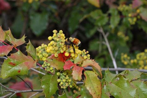 800px-berberis_aquifolium_4207