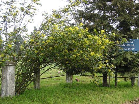 oregon grape root shrub