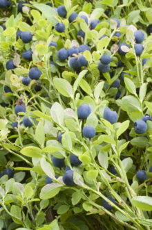 Bilberry, Vaccinium myrtillus Foster Purchased 2008