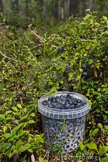 blueberries-forest-21287364