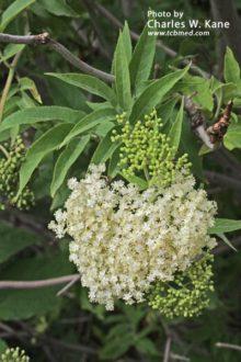 sambucus-nigra-spp-cerulea-5
