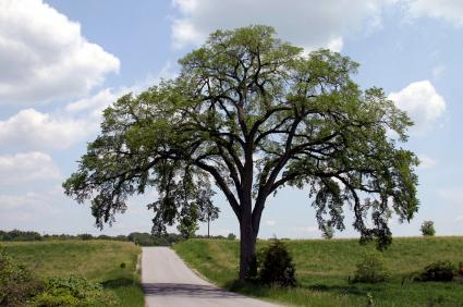 149536-425x282-elm-tree
