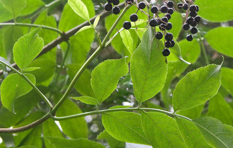 elderberry-3