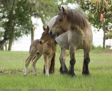 gypsy-horse-4