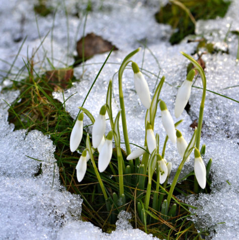 snowdrops in magick magickal ingredients
