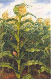 corn37