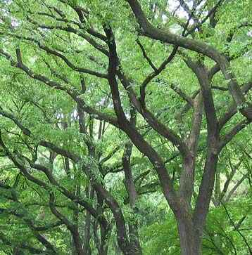 american-elm-tree-branches