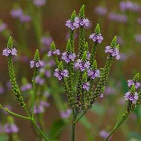Vervain Magick and Lore | Magickal Ingredients