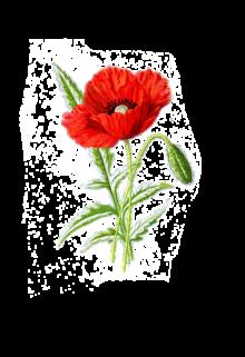 poppy-1525814_960_720