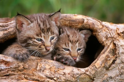 m1278_1-baby-bobcats-in-log